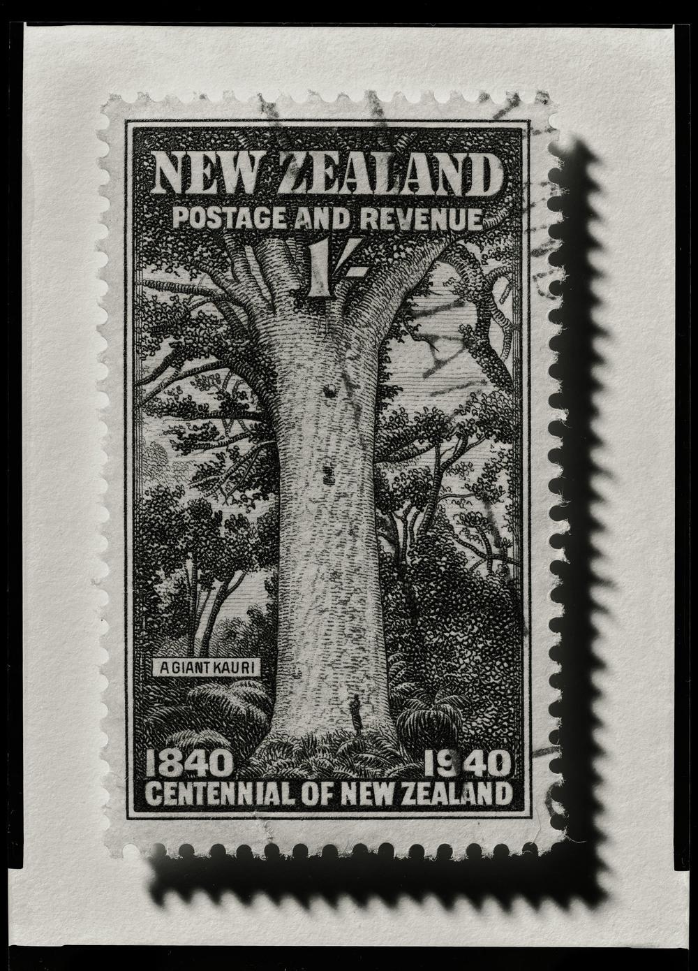 NZ Kauri 10052012003.jpg
