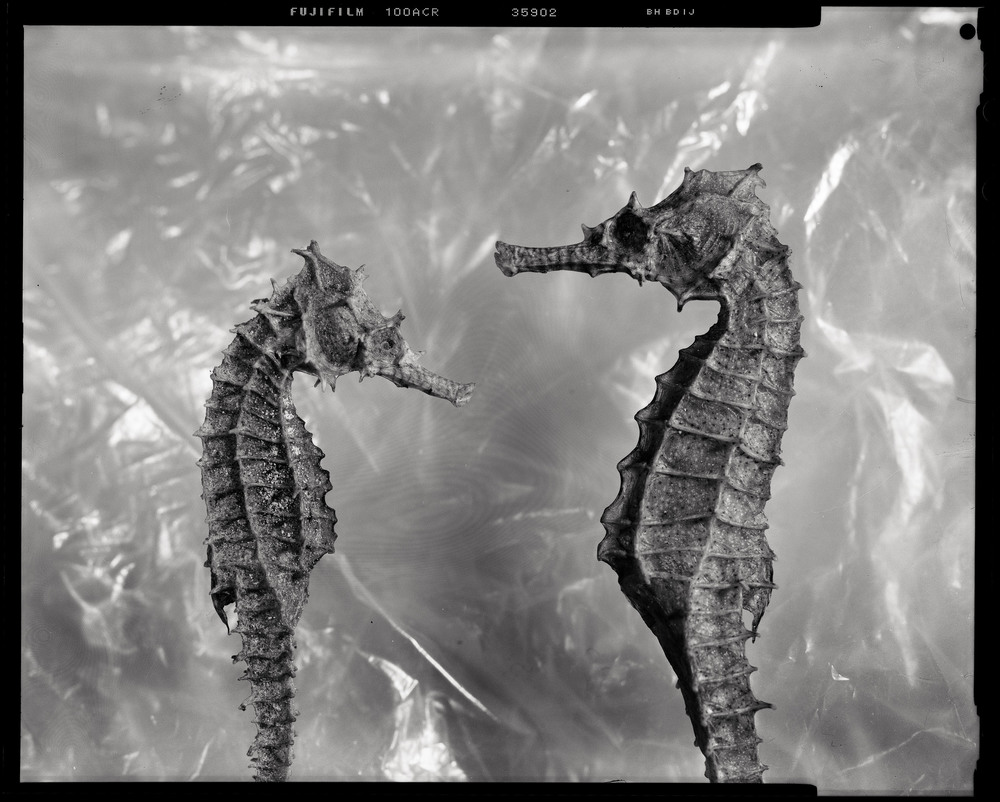 Two Thorny Seahorses