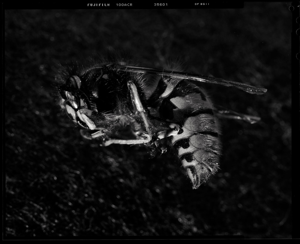 Tree Wasp