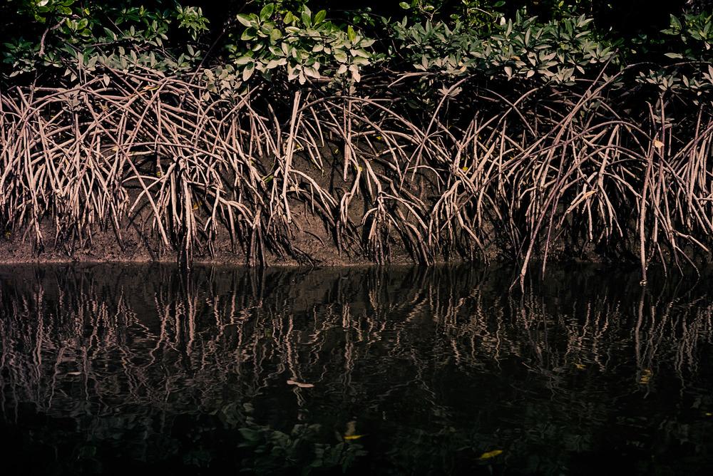 Mangroves, Thailand