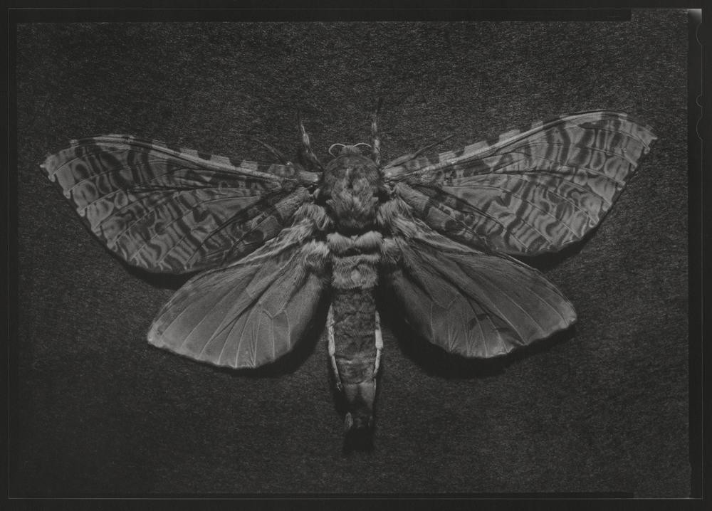 Puriri Moth.jpg