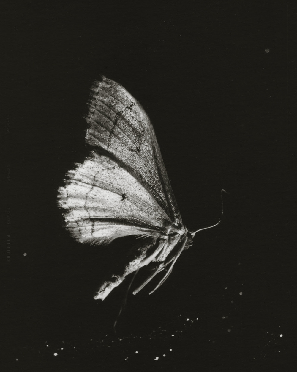 Winter Moth - Casey Moore.jpg