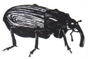 The boll weevil...