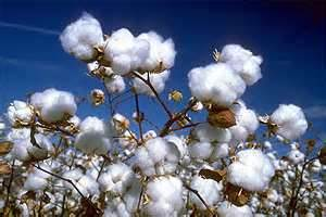 Cotton ready for picking