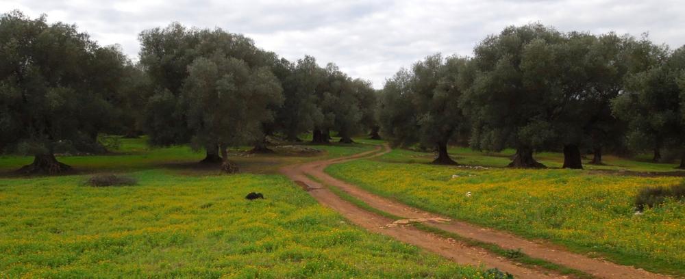 Olivetrees_calendulafields_PugliaSpring.jpg