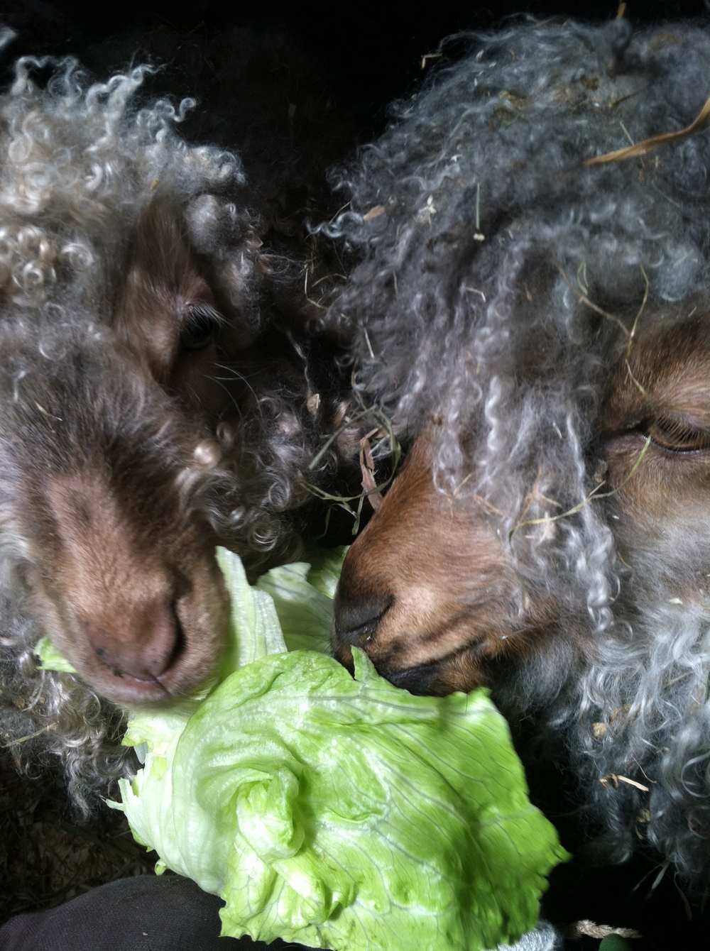 Goat loves, enjoying head of lettuce, Fall, 2014