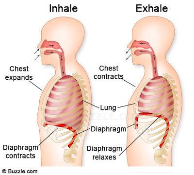 diaphragm-function
