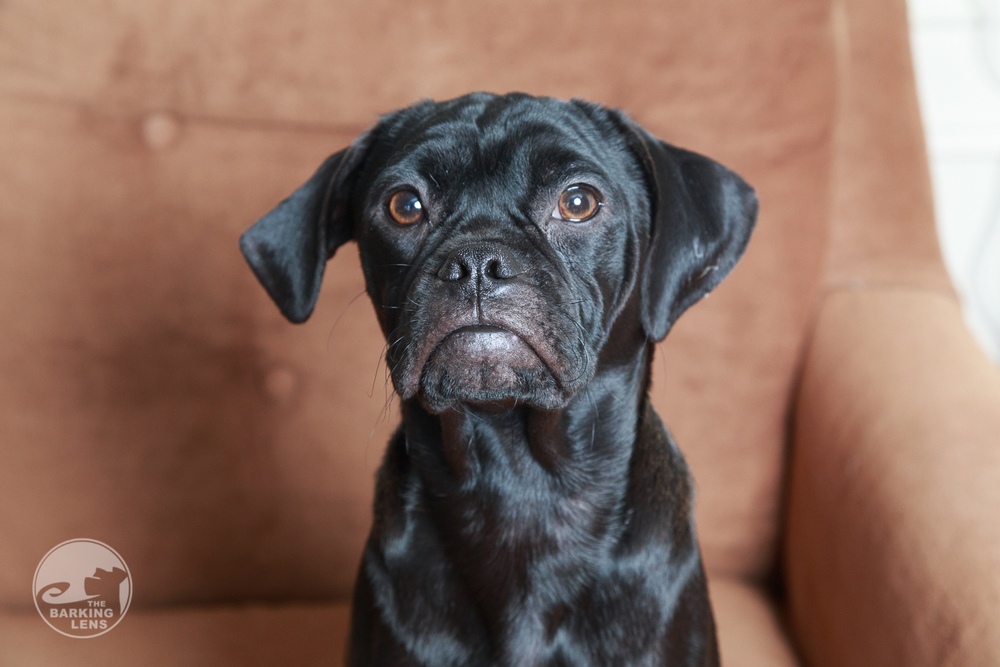Portrait of Flint the puppy, taken with a silver photo umbrella.