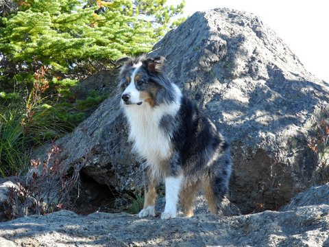 This gorgeous boy is Henry, a Katy and Hellon littermate. Henry and Keith live in Oregon and have explored the mountains of the northwest for the last 9 years.  Picture taken fall 2013. Keith says Henry loves hiking in the Cascades, swimming and getting love from everyone.