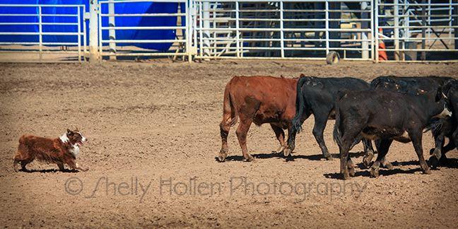 Joe cattle 3 CO 2013.jpg