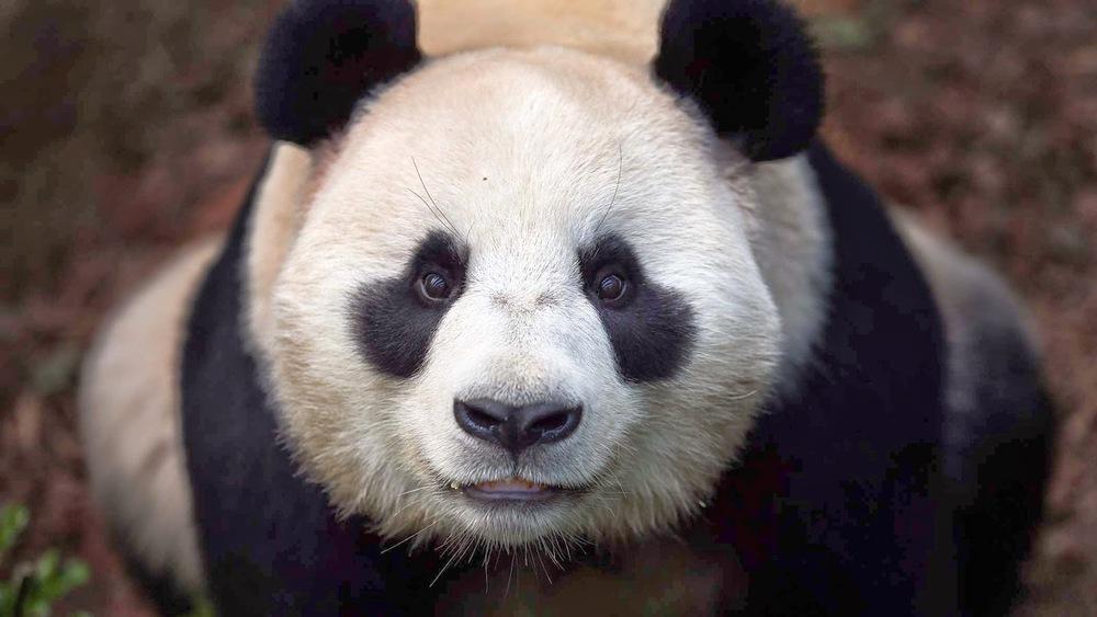 lovely-panda-1920x1080.jpg