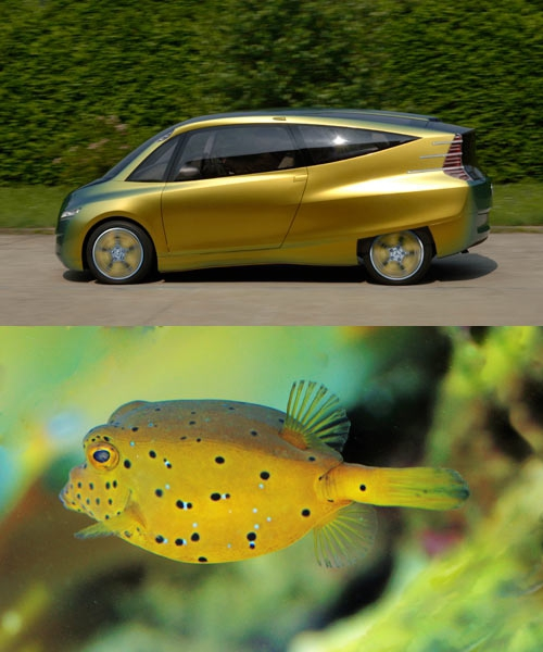 Mercedes-Benz looked towards the boxfish for their bionic car concept. Noting the aerodynamics and efficiency of the boxfish's shape, the engineers decided to apply the characteristics of the fish to a car. The result is a very streamlined vehicle with a 65% lower drag coefficient than other compact cars out at the time (2005). Photos via Daimler