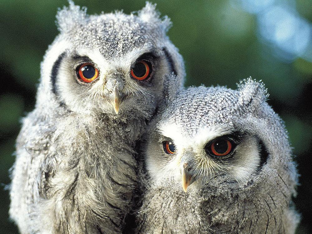 white_faced_scops_owlets-big.jpg