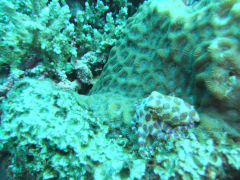 Santa brought us a blue ringed octopus on our Christmas Day dive!