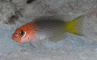 New species of dottyback, photo courtesy of M Erdmann