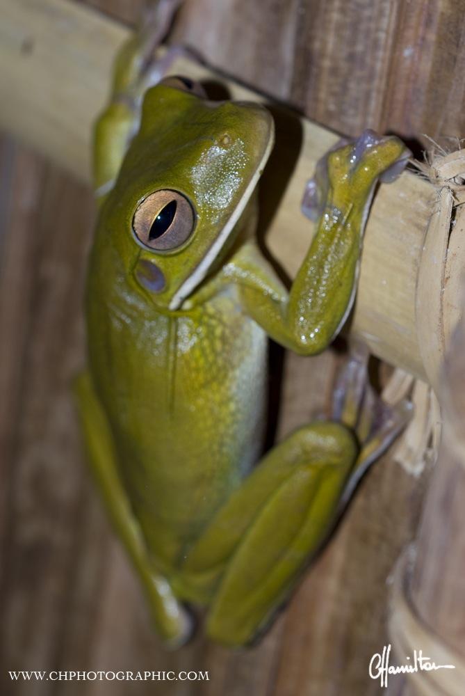 Tree frog, Batanta, Raja Ampat