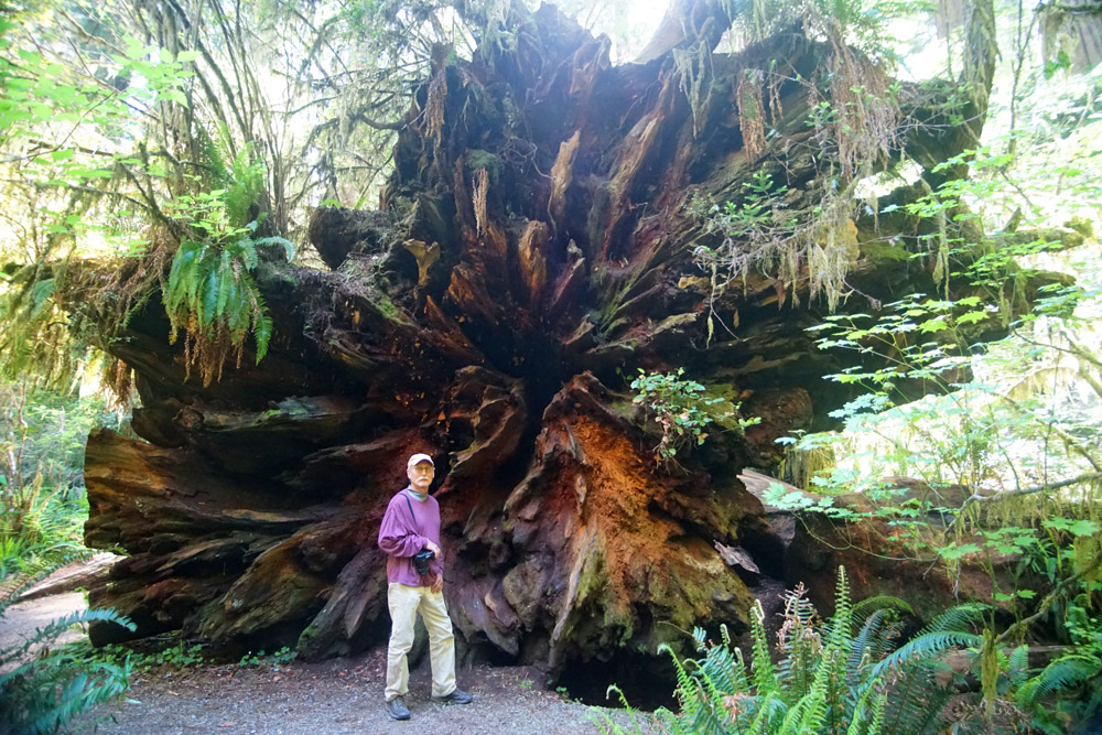 The base of a fallen Redwood tree.