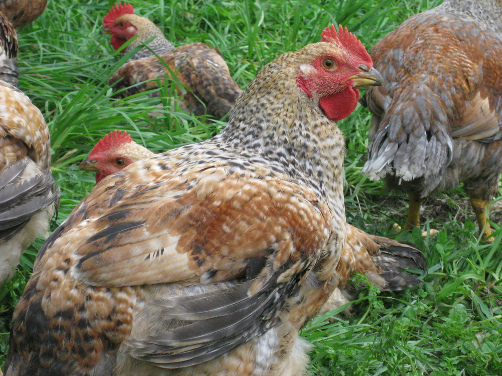 Pastured-raised Red Broilers