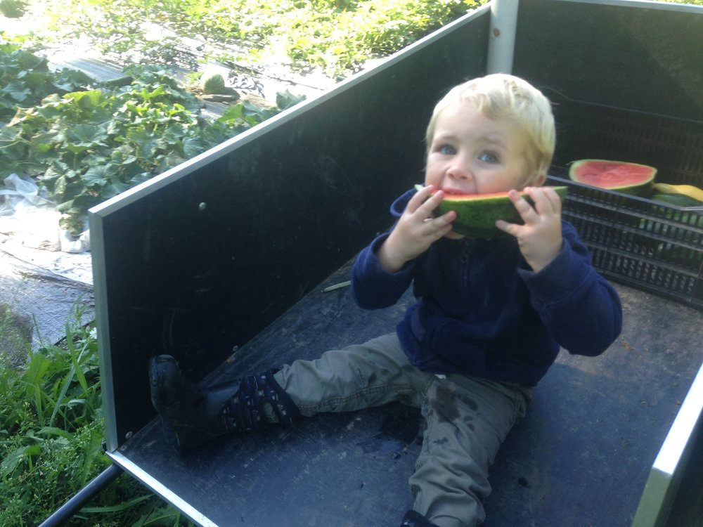 "Bruce ""harvesting"" watermelon for the market"