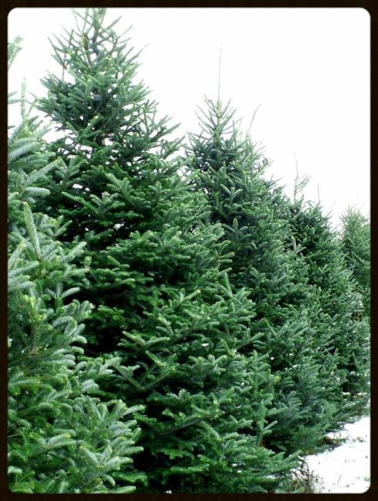 L'Arche Spokane Christmas Tree Lot  Opened November 28th - Sold out December 18th!