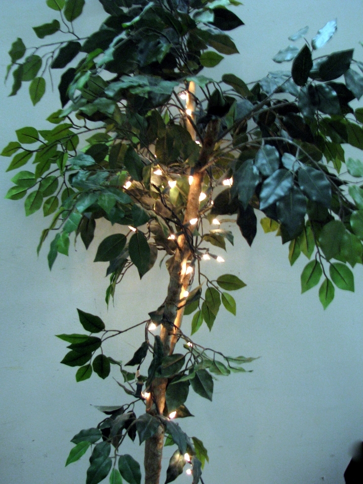 Ficas trees:  about 6 1/2ft tall with or without pin lights in each