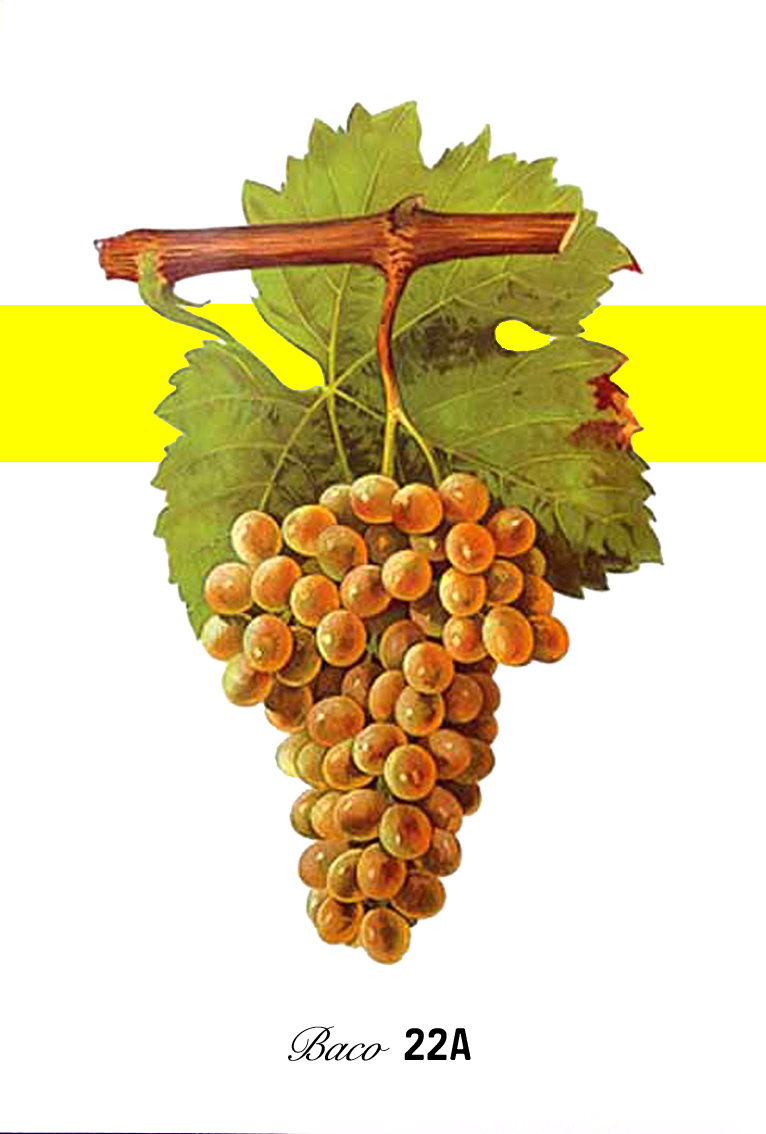 Baco blanc  or  Baco 22A  is a  French-American hybrid   grape variety . It is a  cross  of  Folle blanche  and the  Noah grape , created in the 1898 by the grape breeder François Baco .  [1]   Folle blanche is its   Vitis vinifera   parent. Noah, its other parent, is itself a cross of   Vitis labrusca   and   Vitis riparia  .  [2]    Baco blanc was developed to produce some of the same flavors as Folle blanche but without the susceptibility to American  grape disease  and  phylloxera . In the 20th century it was widely planted in the  Gascony  region for uses in  brandy  production. Both  Armagnac  and  Cognac  (from the  Charentes  and  Charente-Maritime districts north of Gascony) are brandies made from white grapes -  Ugni blanc , Folle blanche and  Colombard  - but only Armagnac was permitted under French regulations to use Baco blanc and until the late 1970s, Baco blanc was the primary grape of Armagnac.