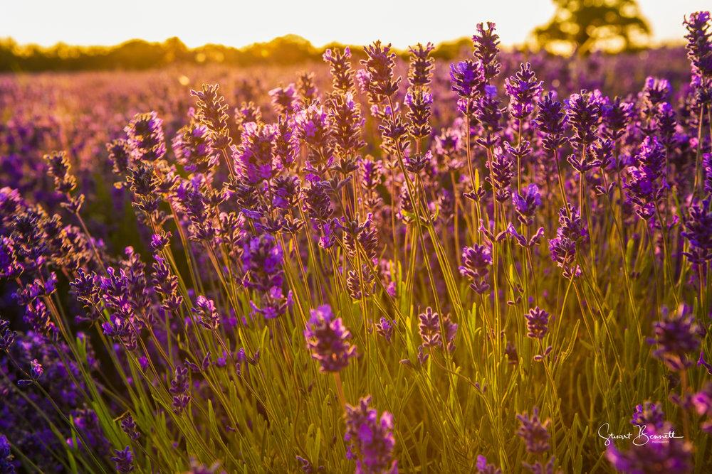20150718-Somerset Lavender Sunrise-3.JPG
