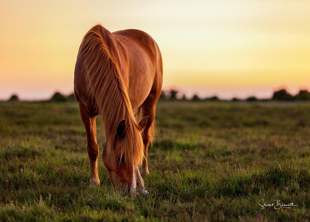 New Forest Pony basking in the Summer Sunset-2.JPG