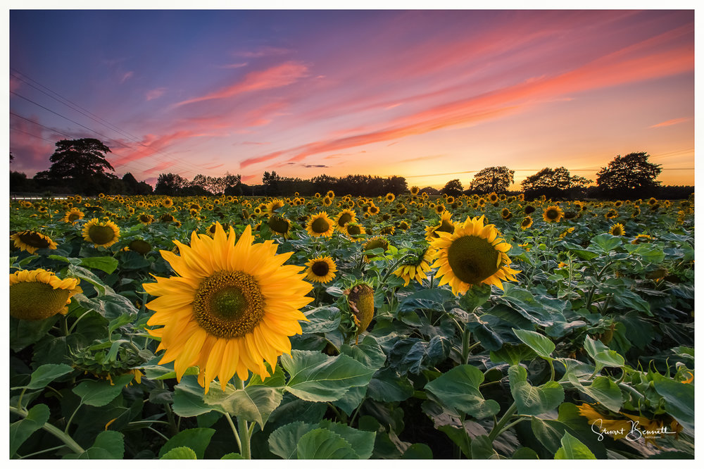 Sunflower Sunset-2.JPG