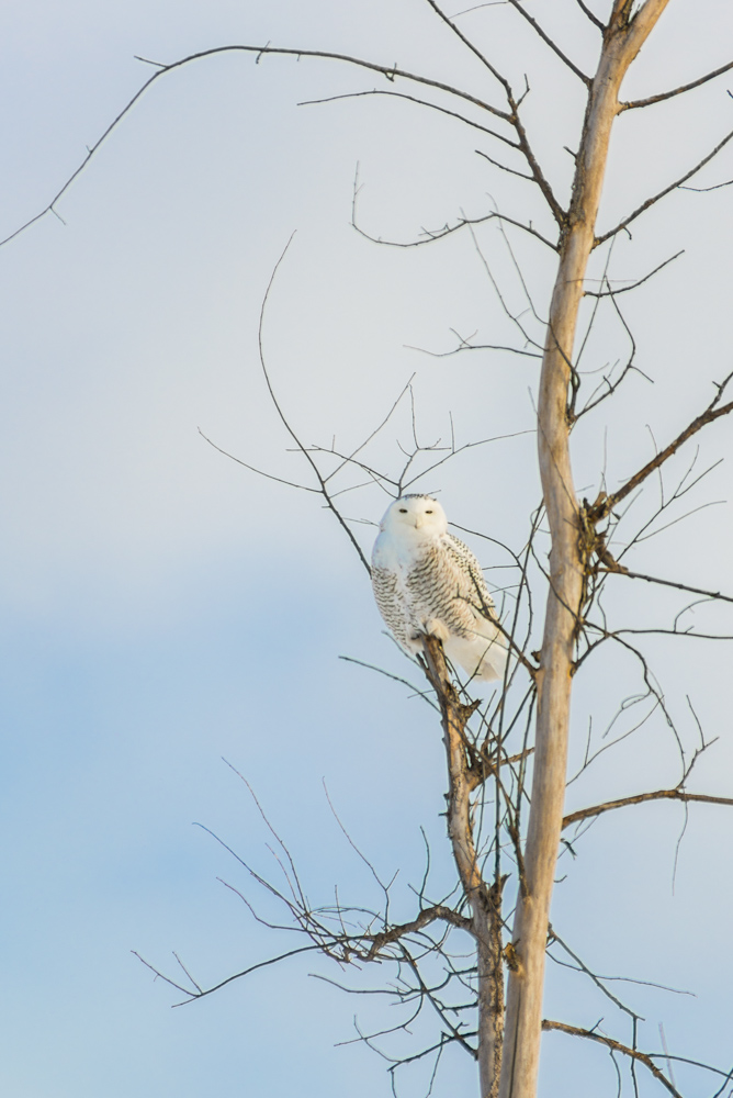 Snowy-Owl-4.jpg