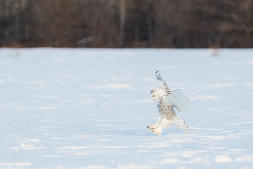 Snowy-Owl-3.jpg