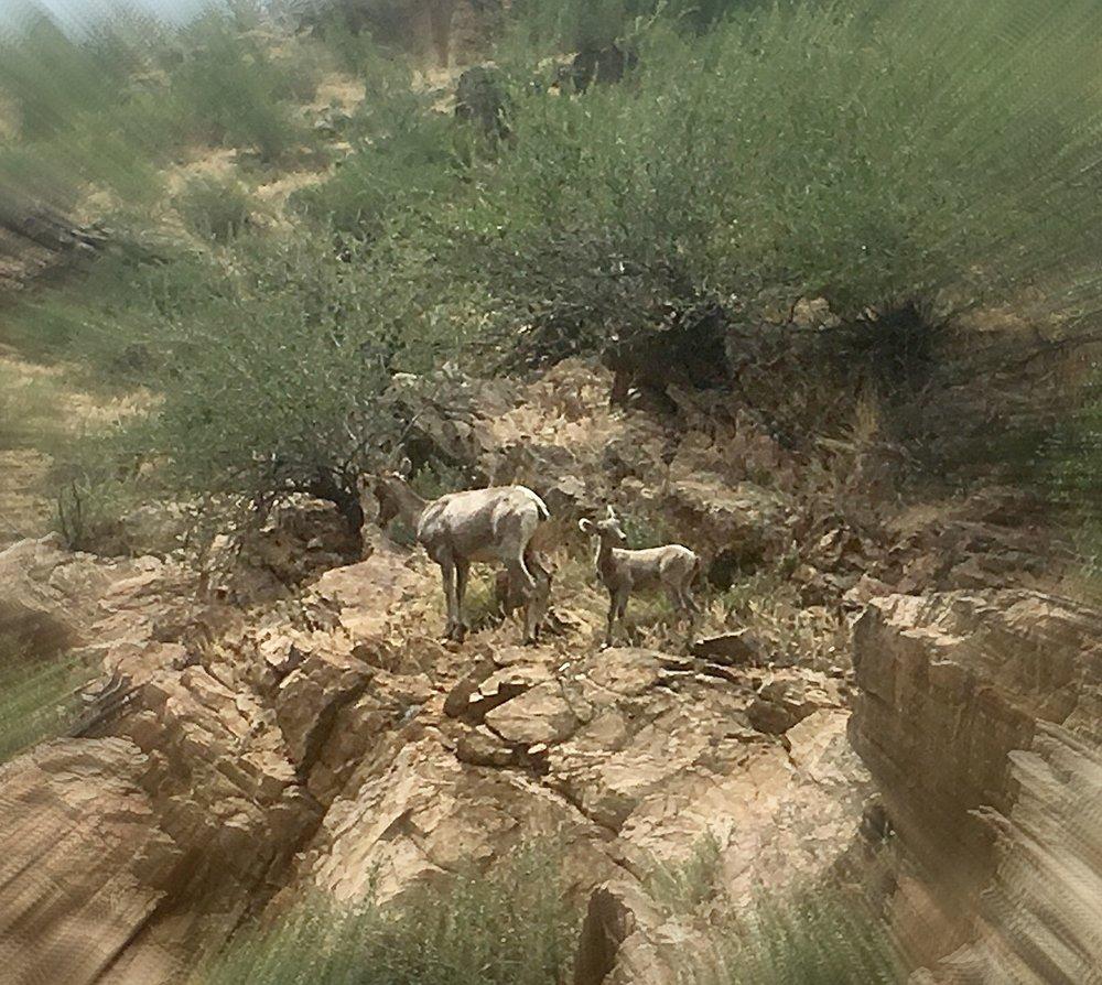 bighorn sheep.jpg