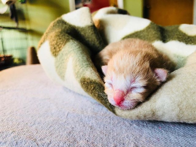 ✨here's one of six babies I'm fostering. 1day old today✨I will have them & their beautiful mama for the next 8wks  FOSTERING IS SOOOOOO REWARDING. Kittens are cute but please SPAY YOUR ANIMALS💕💕💕💕😻🐱🐱🐱🐱🐱🐱 #AdoptDontShop #FAMD #KITTEN