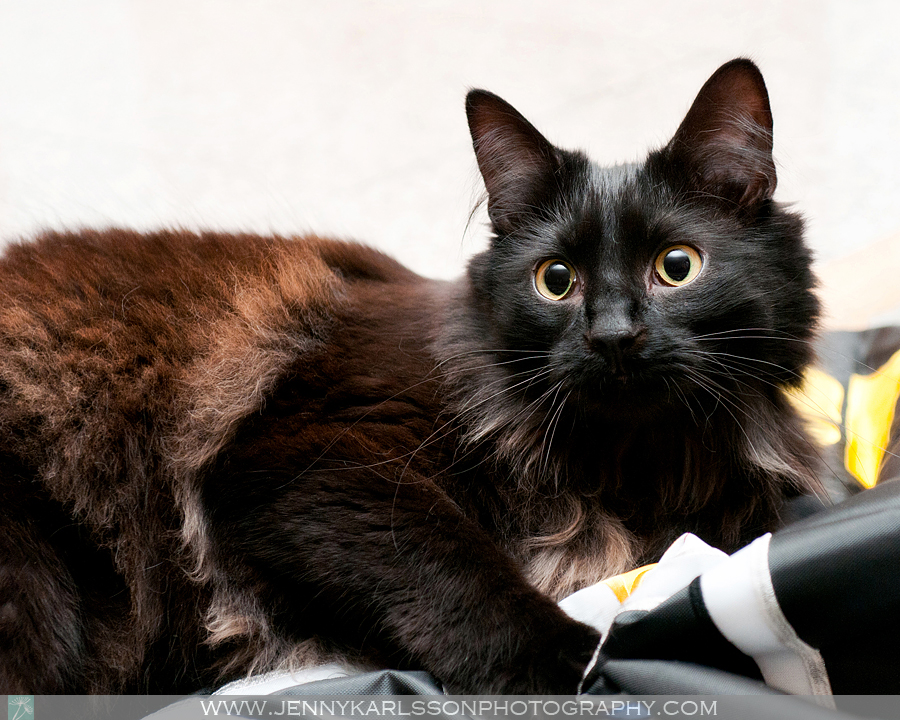 Cinder - Pittsburgh cat photography by Jenny Karlsson 2