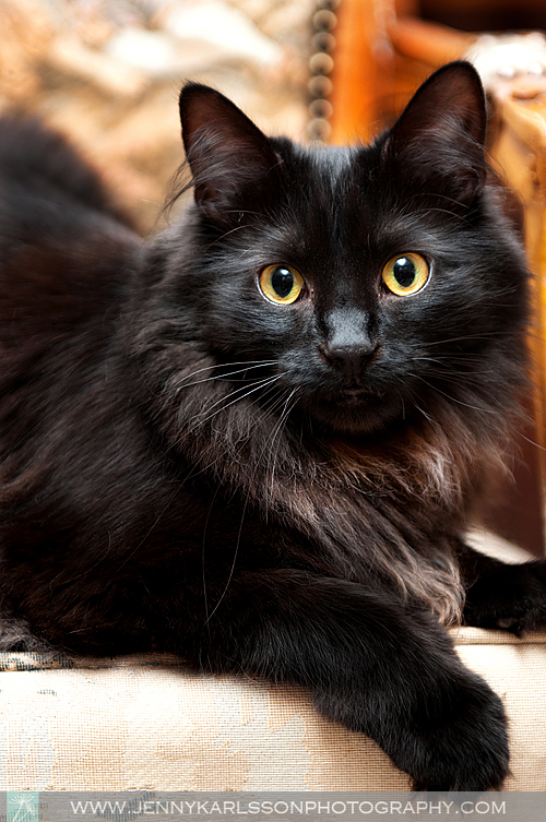Cinder - Pittsburgh cat photography by Jenny Karlsson 5