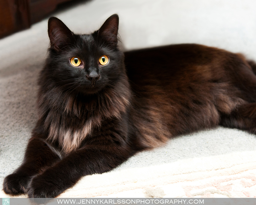 Cinder - Pittsburgh cat photography by Jenny Karlsson 6