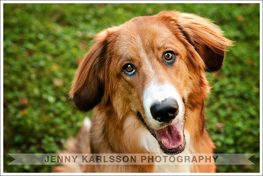 Pittsburgh Pet Photography Bernese Mountain Dog 1