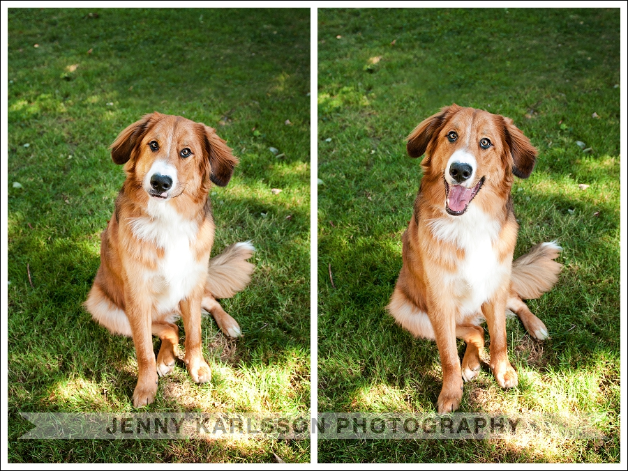 Pittsburgh Pet Photography Bernese Mountain Dog 3