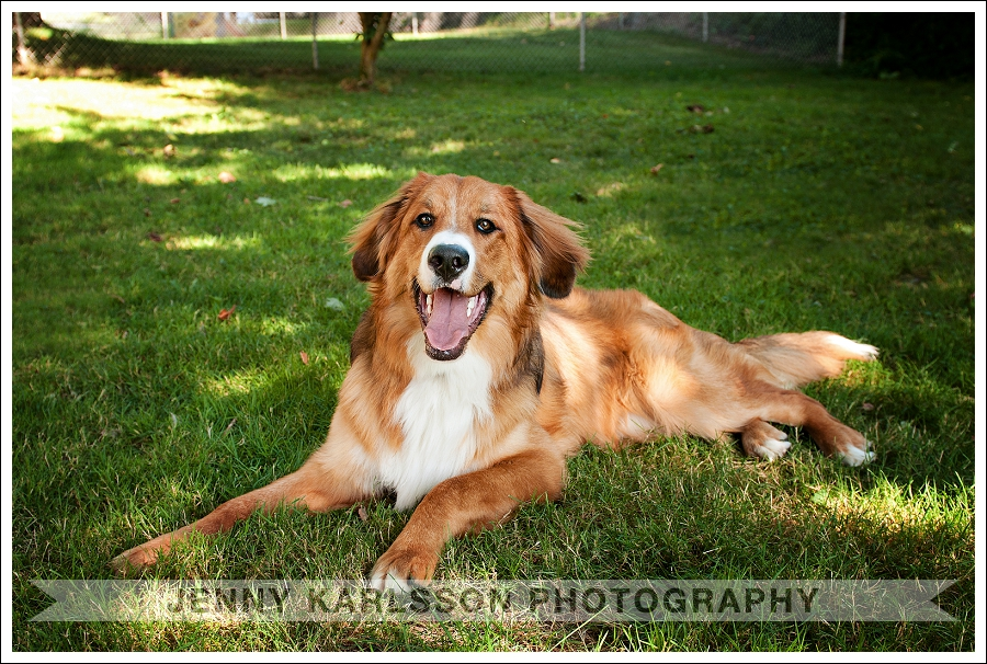Pittsburgh Pet Photography Bernese Mountain Dog 4