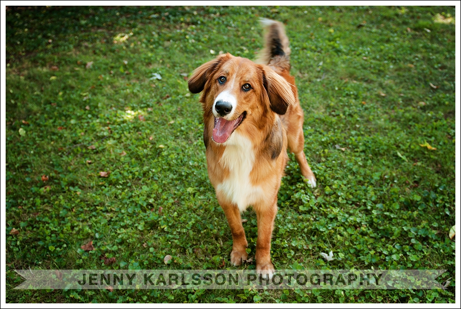 Pittsburgh Pet Photography Bernese Mountain Dog 5