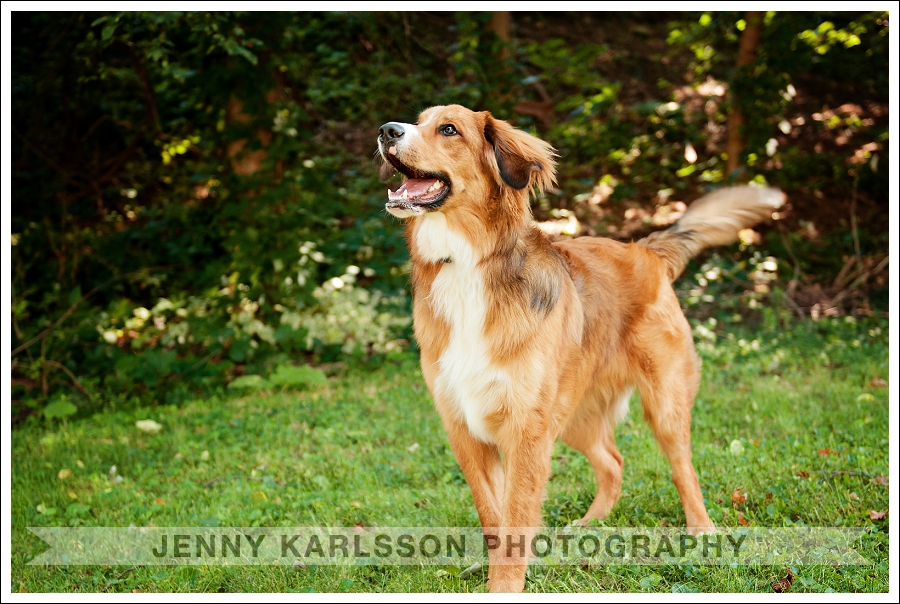 Pittsburgh Pet Photography Bernese Mountain Dog 6