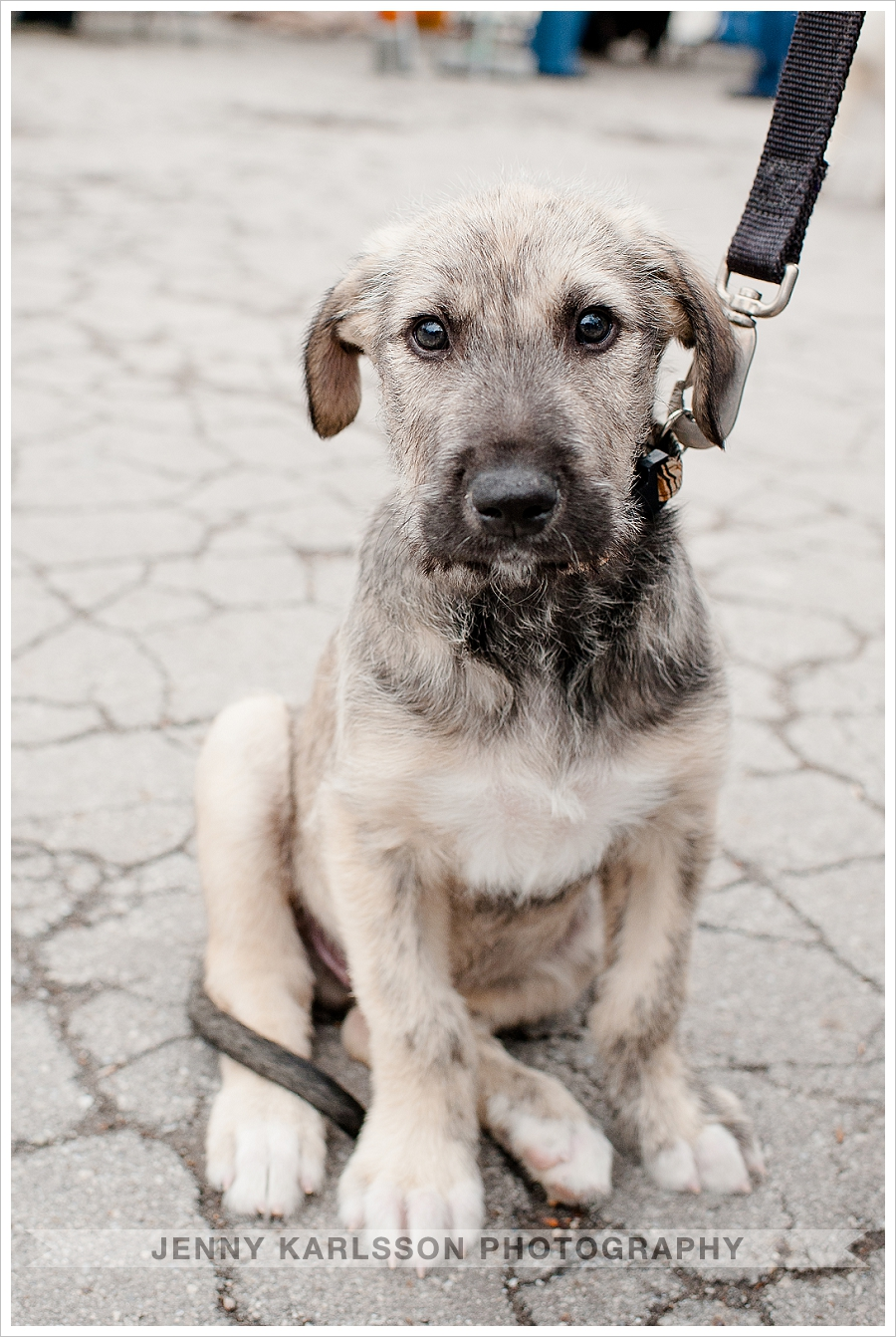 Irish Wolfhound Pittsburgh puppy