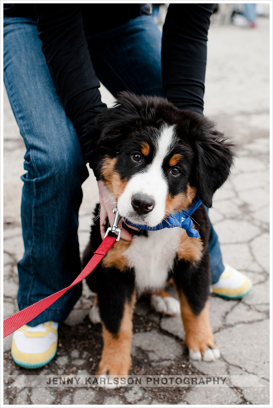 Bernese Mountain Dog Pittsburgh
