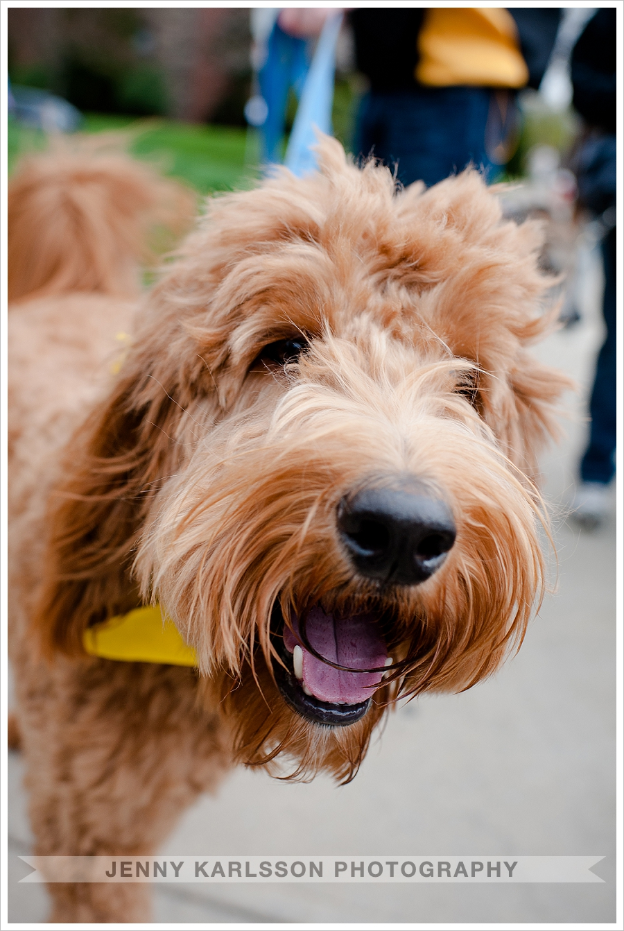 Goldendoodle pet photography pittsburgh