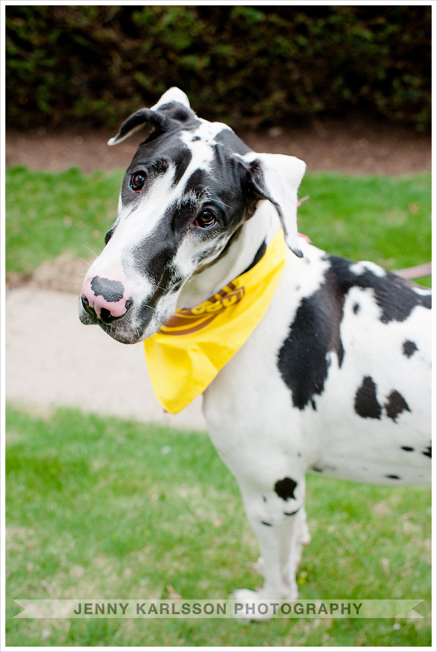 Great Dane Dog Photography Pittsburgh