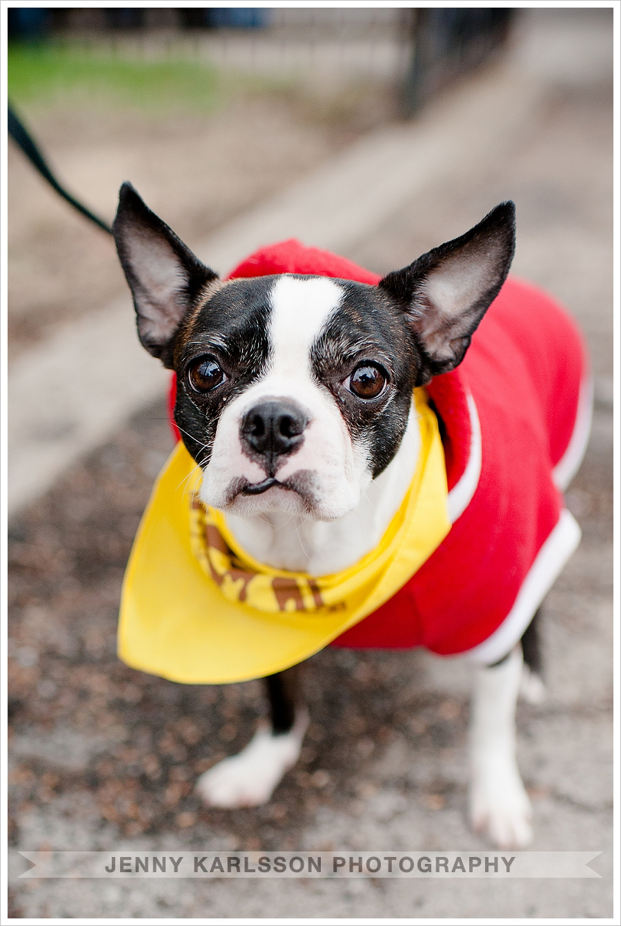 Boston Terrier Dog Photography Pittsburgh