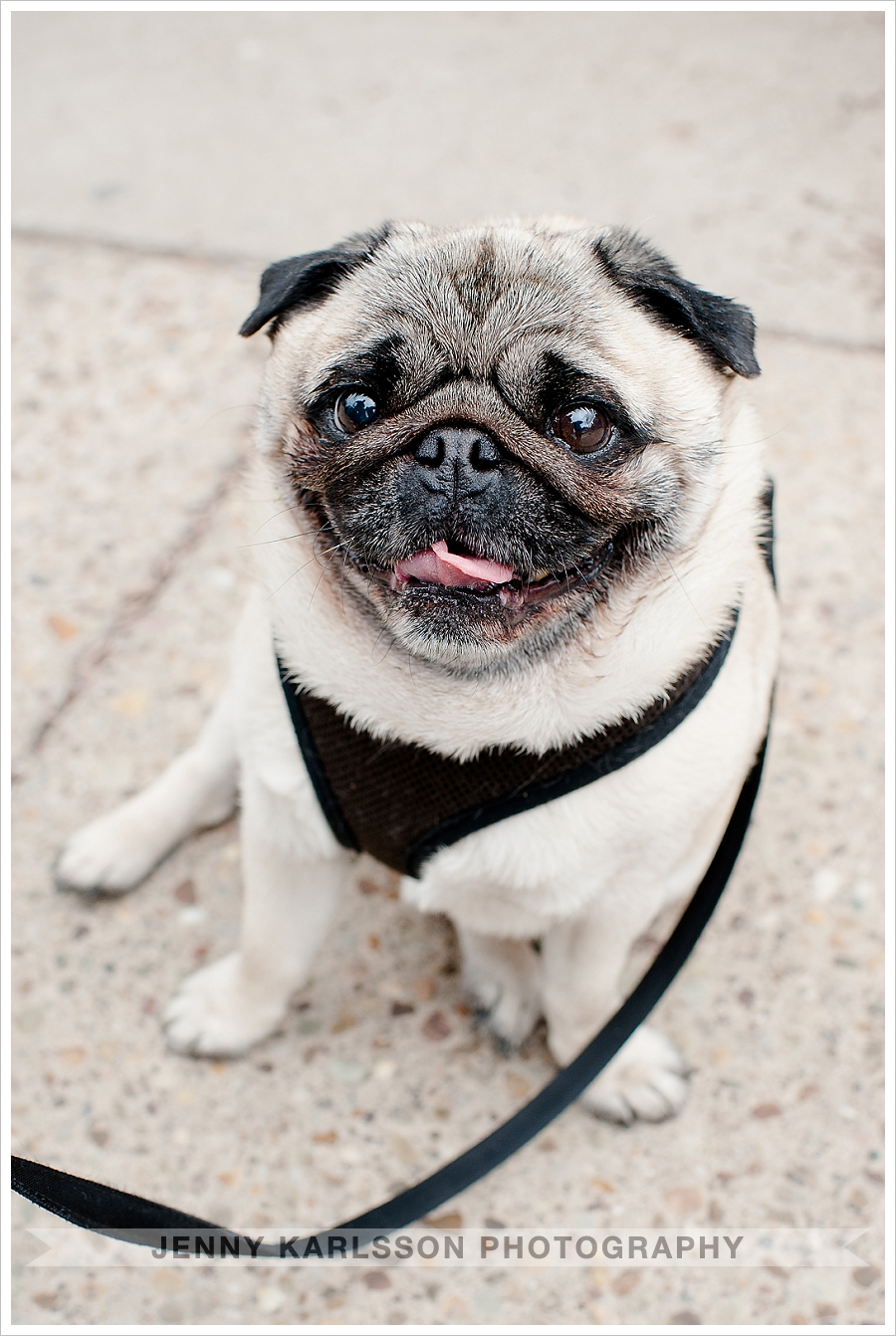 Pug Dog Photography Pittsburgh