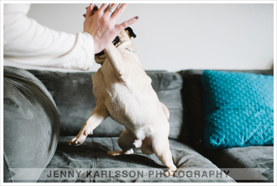 Jack the pug 2 Pittsburgh Pet Photographer