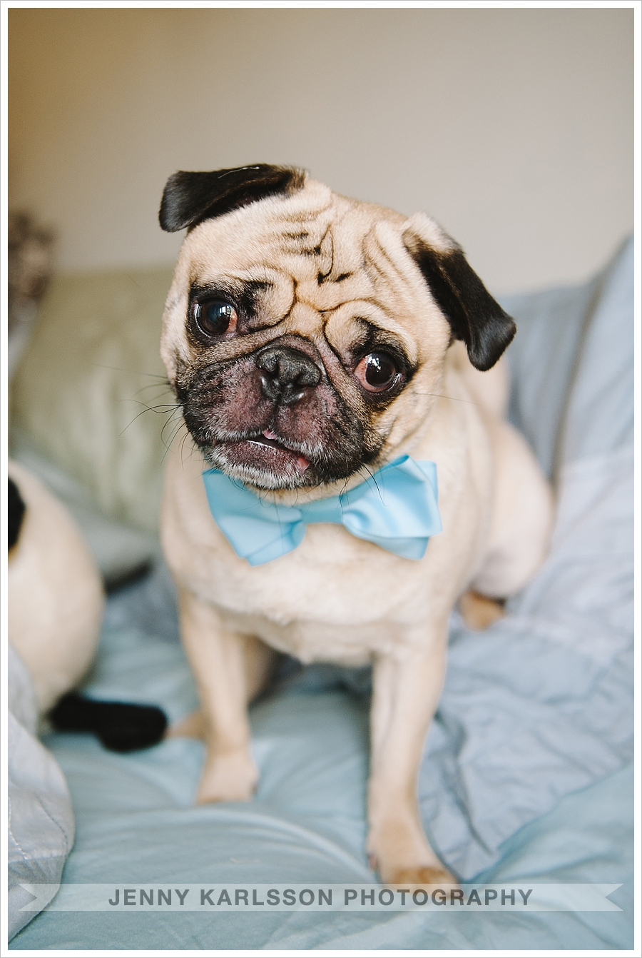 Pug in bow-tie - pittsburgh pet photographer