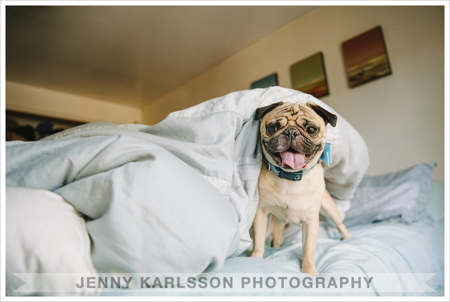Pug playing in bed - Pittsburgh pet photographer
